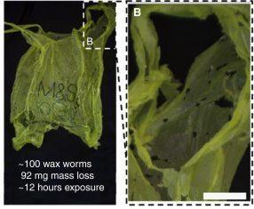Una larva ci salverà dalla plastica?